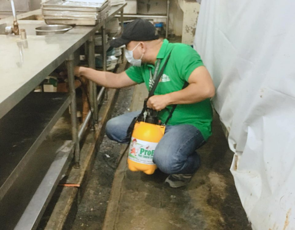 Spraying using knapsack sprayer to control all crawling insect pests.   Misting ...