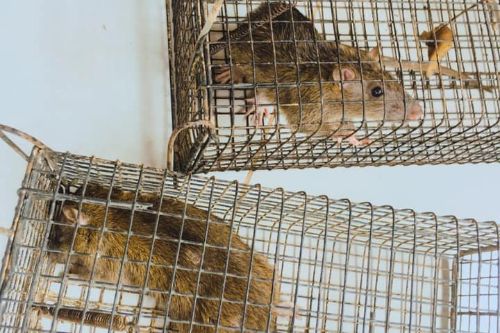 Rats in cages!